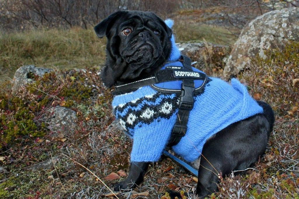 dog wearing blue jacket