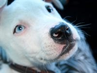 What is the Best Dog Food for Pitbulls?