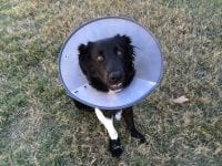 How Long Should a Puppy Wear a Cone After Being Neutered?